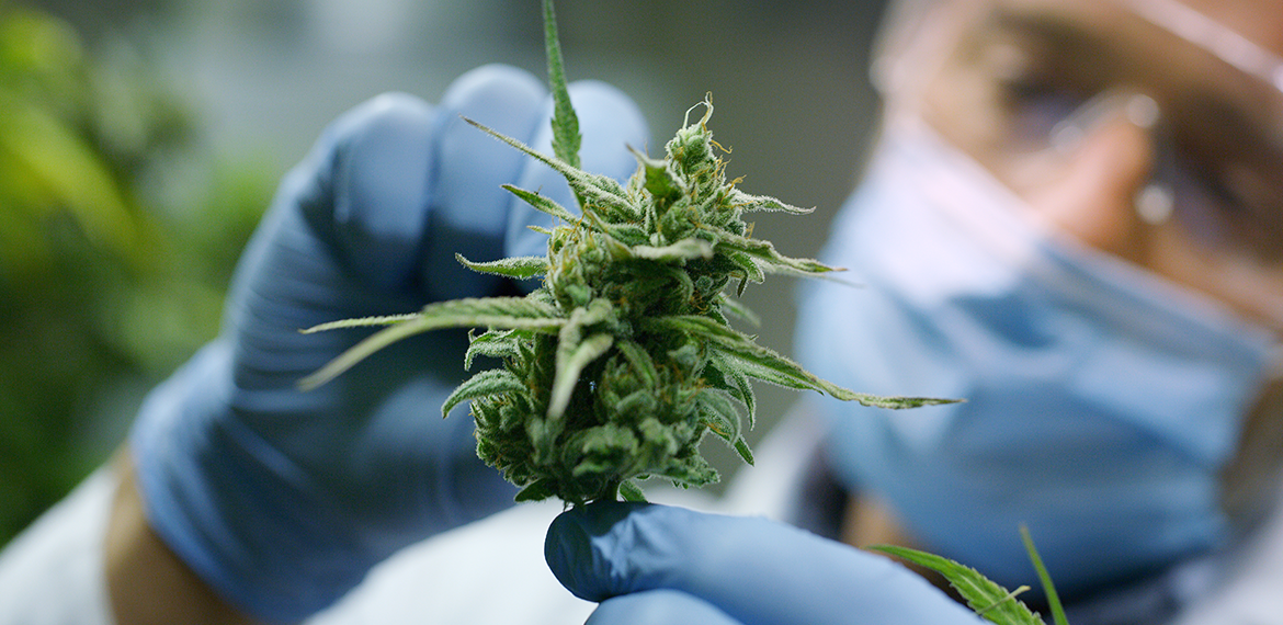 Banner image showing a cannabis flower being held by a researcher